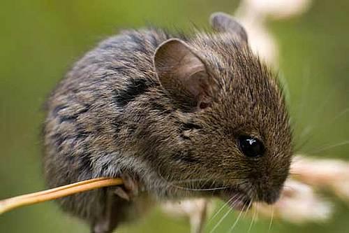 Prairie vole (Prärie Wühlmaus)