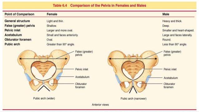 Anatomie des männlichen und des weiblichen Beckens | Alles Evolution